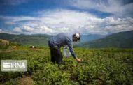 چرا باید گیاهان کوهی را نچینیم؟